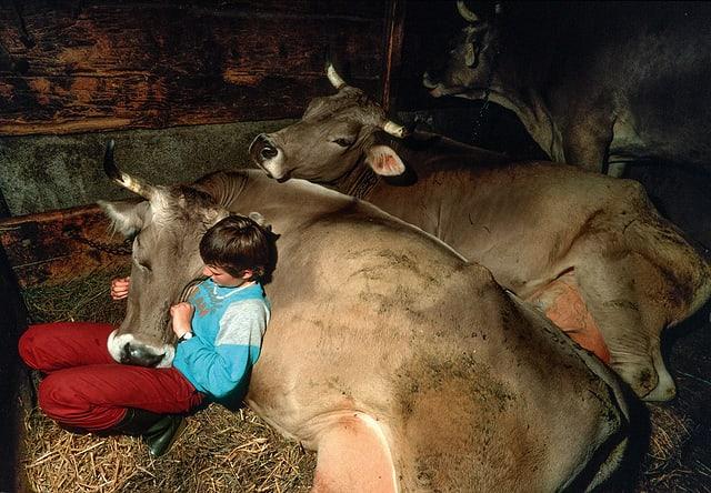 Ein Junge schmiegt sich in einem Stall an eine liegende Kuh.