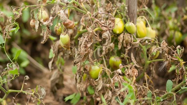 Tomatenstaude mit braunen Blättern.