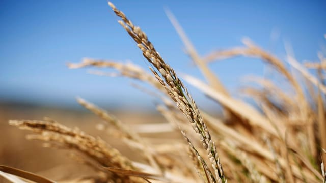 Eine Getreideähre