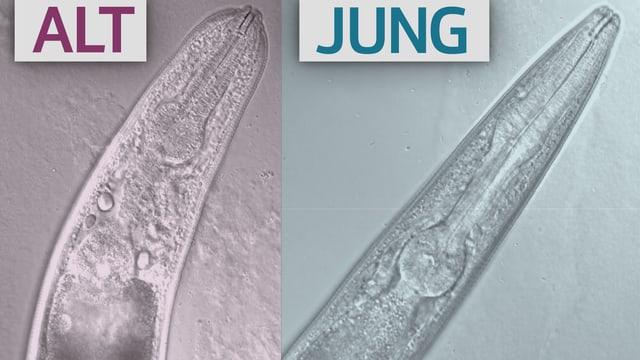 Zwei Ansichten von Würmern durch ein Mikroskop.