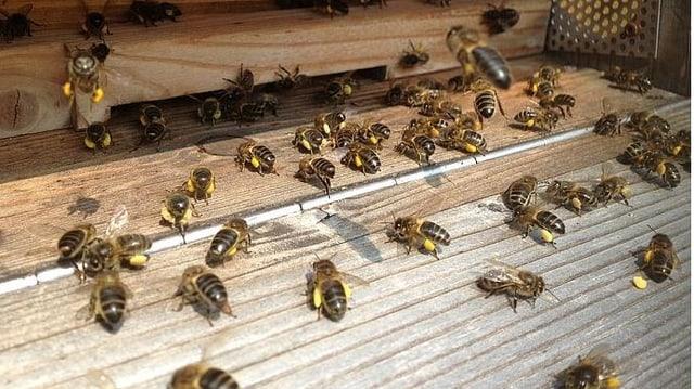 Bienen fliegen zum Bienestock