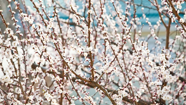 Aprikosenbaum in Blüte.