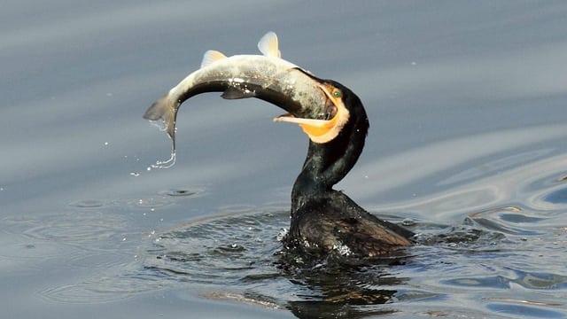 Soeben hat der schwarze Kormoran zugepackt und schlingt den Fisch kopfvoran in seinen Schlund.