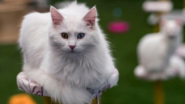 Weisse Katze schaut in die Kamera: In der Schweiz leben 1.7 Millionen Katzen