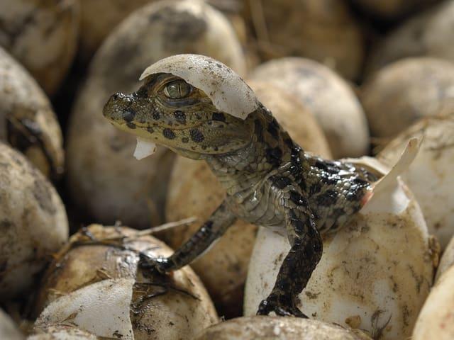 Im Mitten von Eiern ist der erste geschlüpfte Breitschnauzenkaiman zu sehen, auf seinem Kopf sitzt helmartig ein Stück Eierschale.