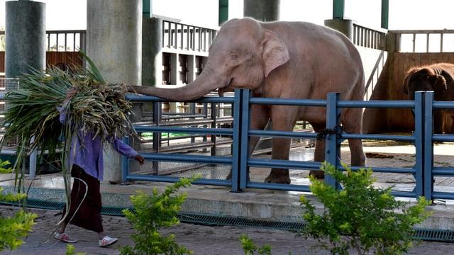 Eine Frau läuft mit Zweigen an einem Elefanten-Stall vorbei.