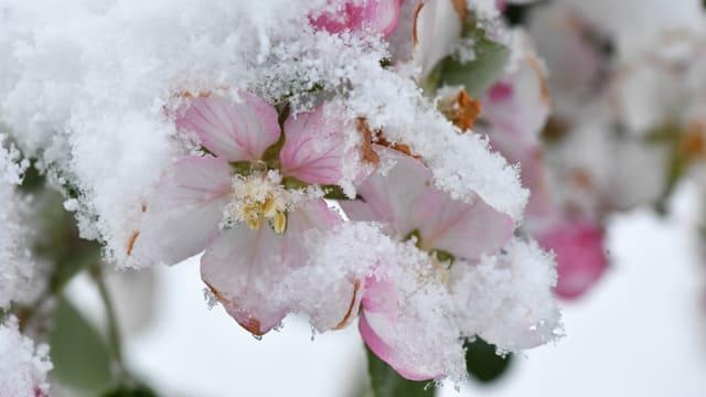 Apfelblüte im Schnee