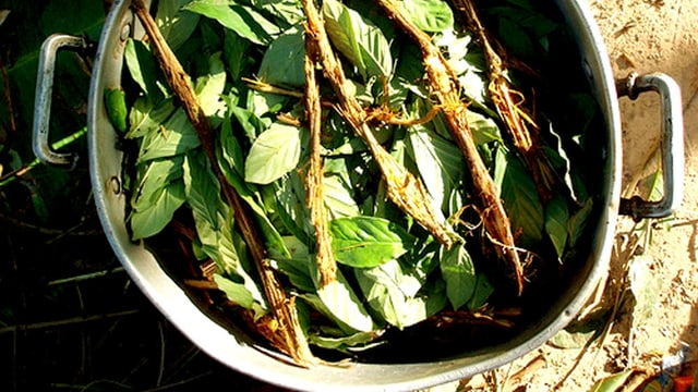 Ayahuasca: Wurzeln und Blätter kochen im Topf.