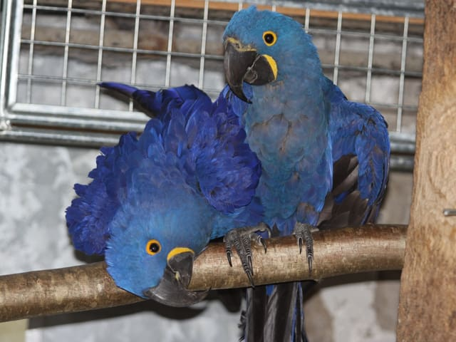Zwei Hyazintharas in Gefangenschaft: Sie haben leuchtend blaues Gefieder und gelbe Ränder am Schnabel und um die Augen.