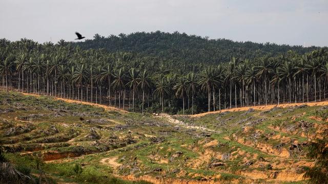 Abgeholzter Wald, dahinter eine Palmölplantage.
