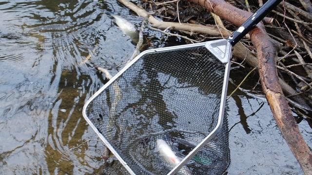 Ein toter Fisch im Netz.