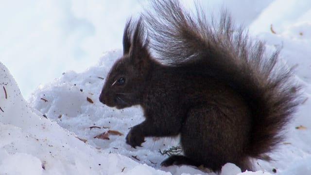 Das Eichhörnchen vergräbt seine Nüsse als Wintervorrat. Die Nüsse, die es vergisst, treiben im nächsten Frühjahr aus