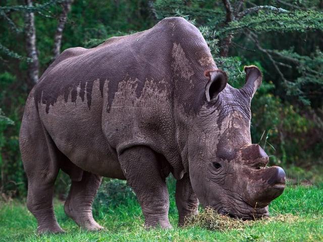 Nashorn im Gras