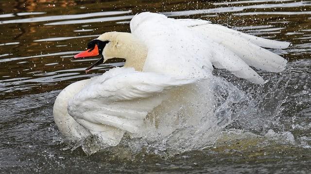 Schwan planscht im Wasser