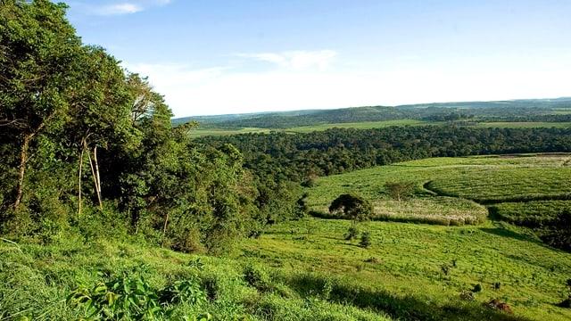 Zuckerrohr-Plantage im Süden Ugandas.