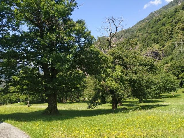 Grosser Kastanienbaum auf einer Wiese.