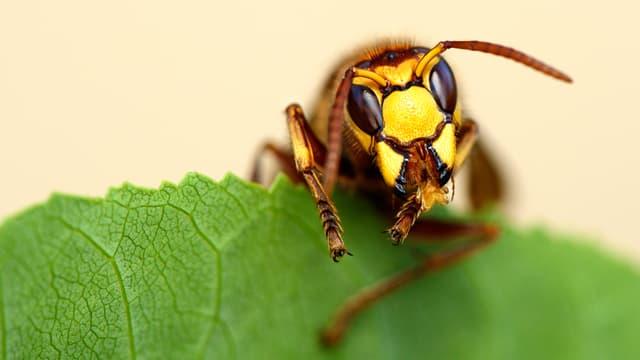 Eine Wespe sitzt auf einem grünen Blatt.