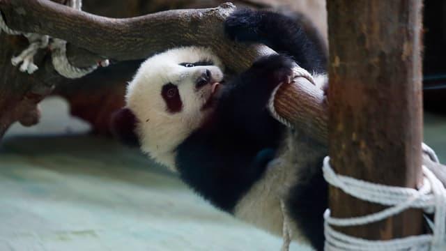 Ein Pandabär hängt an einem Ast.