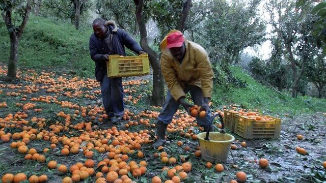 Zwei afrikanische Immigranten lesen auf einer Plantage Orangen auf.