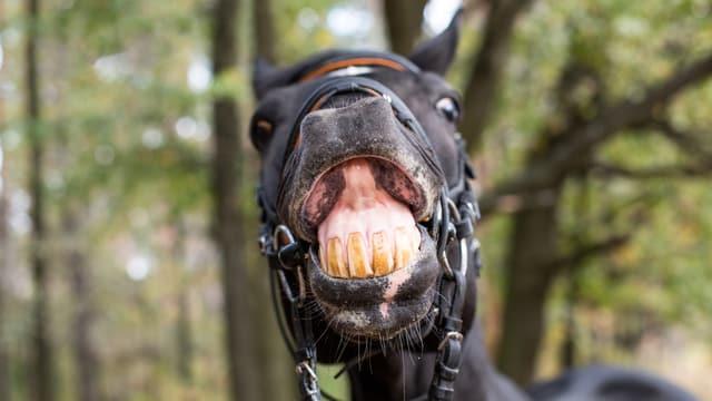 Ein Pferd wiehert hässlich in die Kamera