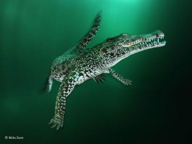 Krokodil in trübem Wasser