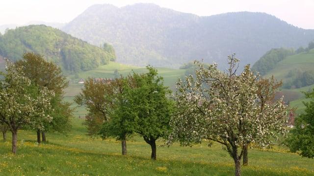 Schöne Birnbäume im Kanton Nidwalden