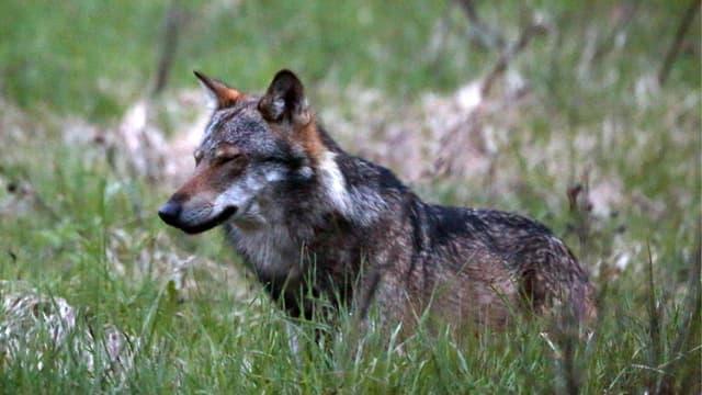 Wolf im Gras