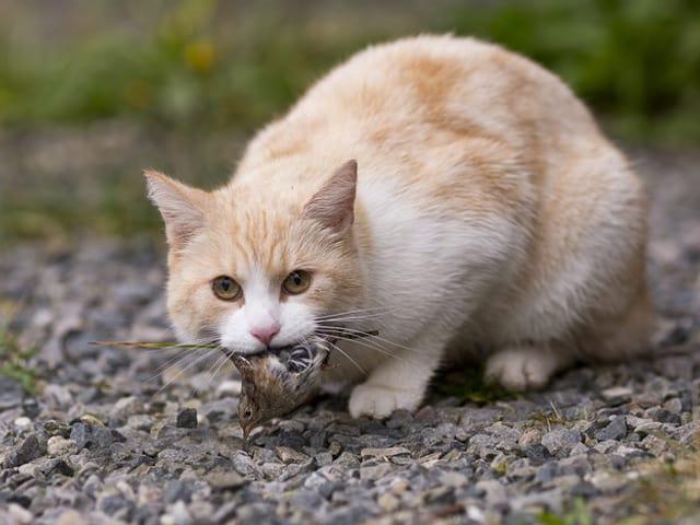 Eine Katze hat einen Vogel erbeutet.