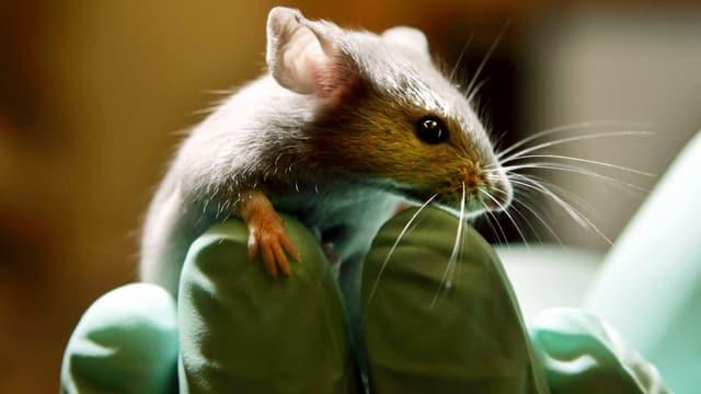 Eine Maus auf einem Handschuh.