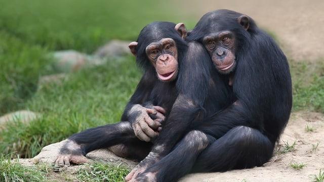 Schimpansen im Gehege des Walter Zoos in Gossau.