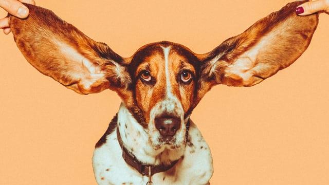 Hund mit grossen Ohren.