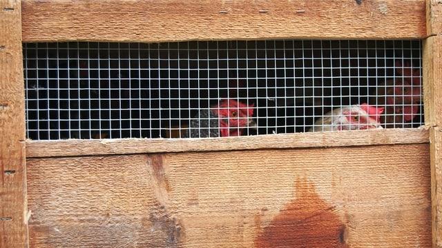 Verschlag mit kleinem vergittertem Fenster, dahinter zwei Hühner