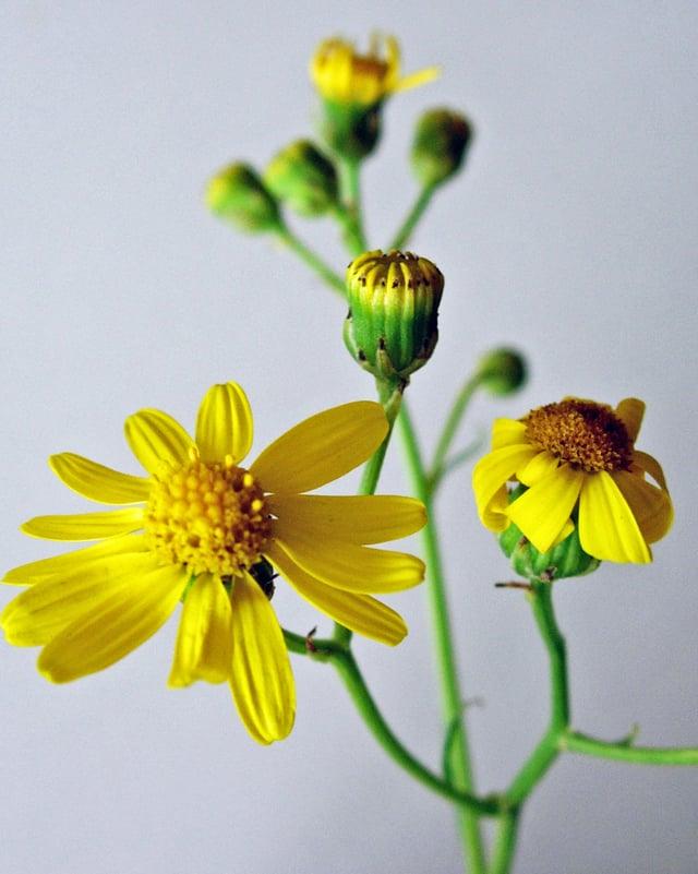 Blüten und Blätter des Greiskrauts.