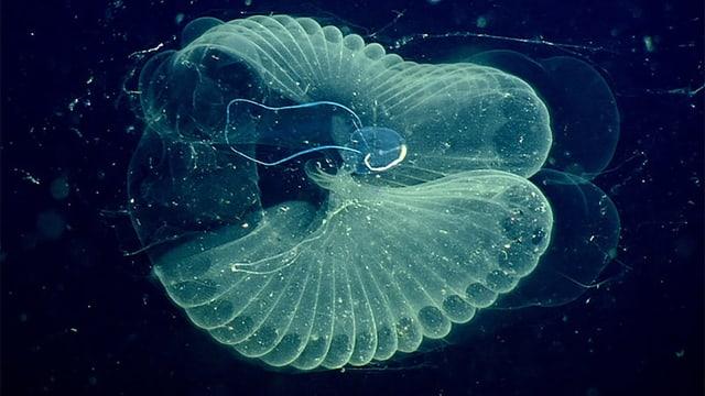 Ein durchsichtiges Tiefseelebewesen ähnlich einer Qualle.