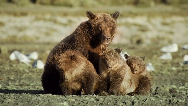 Eine Bärenmutter sitzt mit ihren drei Jungen auf einer Wiese.