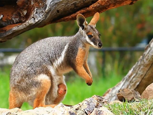 Ein Känguru schaut aus dem Beutel eines Muttertieres in die Kamera.