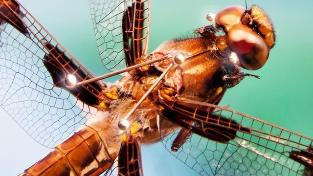 Libelle mit winzigen, reflektierenden Punkten auf dem Rücken.