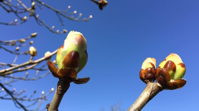 Aufgehende Blütenknospen im Zürcher Weinland.