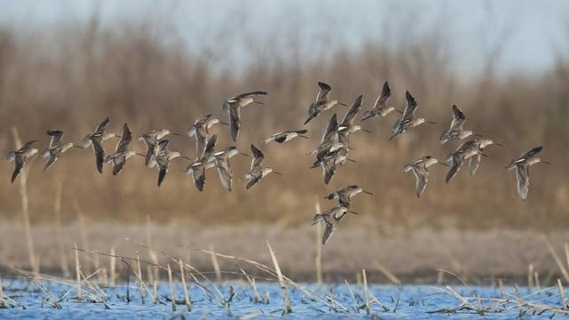 Ein Vogelschwarm fliegt knapp übers Wasser.