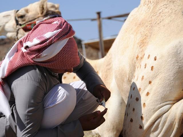 Mann trägt Henna-Tupfen auf sein Kamel auf.