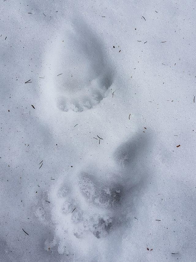 Spuren von Bärenpfoten im Schnee.