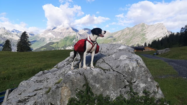 Wanderhund in den Bergen.