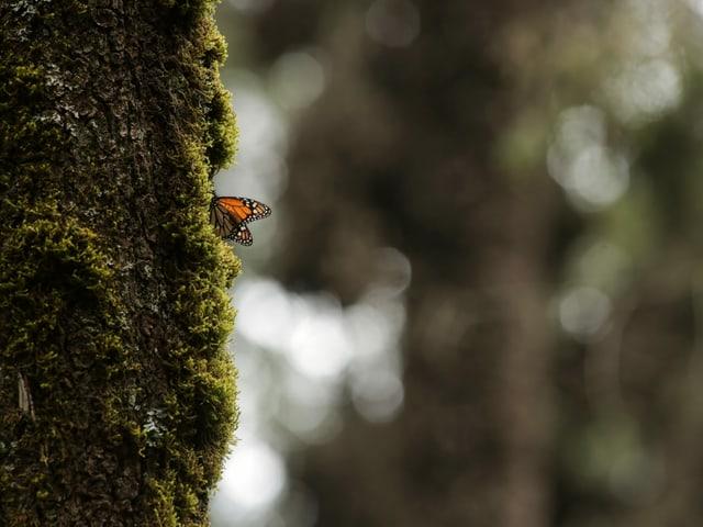 Schmetterling an Baum in Mexiko