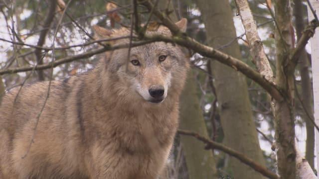 Ein Wolf lugt unter einem Baumzweig hindurch.