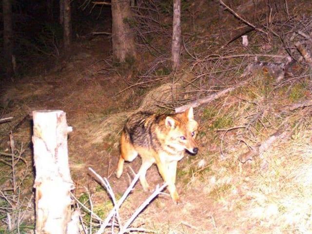 Ein Schakal ging 2015 in der Surselva in eine Fotofalle. Ein Jäger erschoss den vermeintlichen Fuchs.