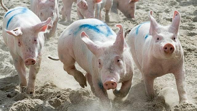 Kleine Schweine rennen im Sand.