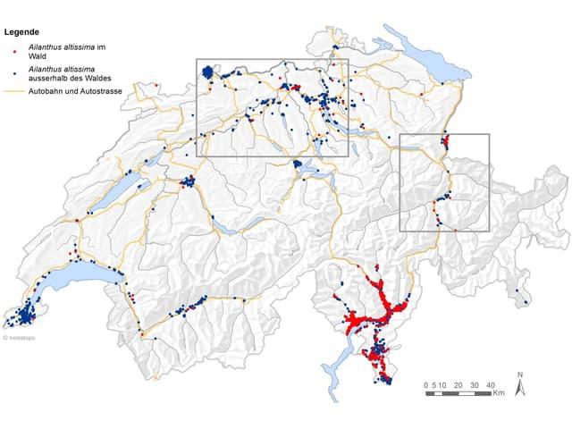 Infografik, welche die Ausbreitung des Götterbaumes in der Schweiz zeigt.