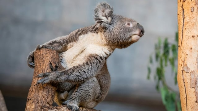 Purtret d'in coala.