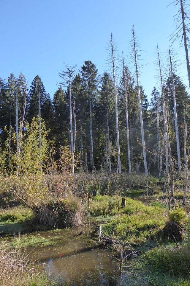 Wasser, Grün und tote Bäume im Langholz
