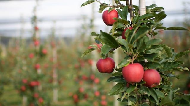 Zweig mit Äpfeln